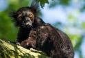 Na snímku lemur tmavý.