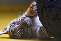 Jedno ze dvou mláďat tygra sumaterského.