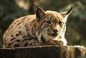 K večeru bývají mnohem aktivnější kočkovité šelmy nebo sovy (ilustrační foto).