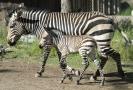 Zebra s mládětem.