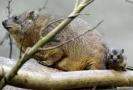 V zoo Dvůr Králové se narodilo mládě damana.