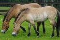 Divocí koně (ilustrační foto).