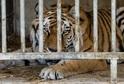 Jeden z tygrů, kteří unikli z Bioparku Štít.