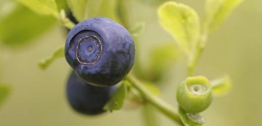 Parazit se do lidského těla může dostat při konzumaci lesního ovoce.