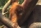 Na výrobu palmového oleje doplácejí orangutani.