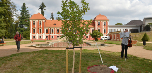 Strom na památku Olgy Havlové v Ostrově.