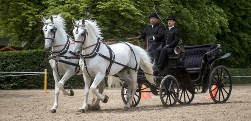 Starokladrubští koně (ilustrační foto).