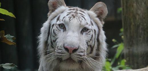 Bílý tygr z liberecké zoo.