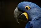 Papoušek ara hyacintový.