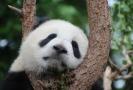 V současné době žije v divočině asi 1600 pand velkých.