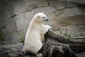 Lední medvědi jsou zařazeni do záchovného programu pro případ hrozby jejich vyhynutí ve volné přírodě.