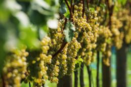 Bílé víno (ilustrační foto).