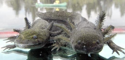 Axolotl Dumérilův.
