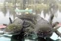 Vodní salamandr.