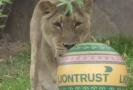 Lví sestry si užily hru s novým míčem.