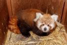 Mládě pandy červené v pražské zoo.