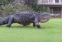 Gigantický krokodýl Chubbs.