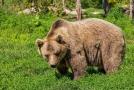 Na Vsetínsku řádí medvěd hnědý.