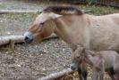 Nově narozené hříbě ohroženého koně Převalského.