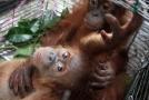 Orangutan sumaterský (ilustrační foto).