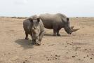Severní bílý nosorožci, ilustrační fotografie.