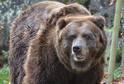 Medvědí samice Helga ze Zoo Děčín.