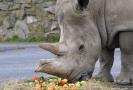 Nosorožčí samice Zamba.