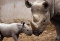 Nosorožec dvourohý východní.