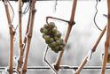 Takzvané ledové víno se vyrábí ze zmrzlých hroznů.