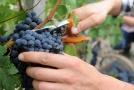 Bohemia Sekt chce rozšířit plochy vinic na 620 hektarů.