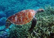 Vědci našli mikroplasty v každé ze zkoumaných mořských želv