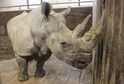Nosorožec dvourohý.