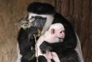 V pražské zoo se narodila další gueréza pláštíková.