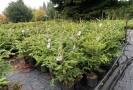 Prodejci potvrzují: Vánoční stromky v květináčích získávají na popularitě.
