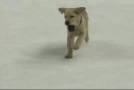 Hokejisté St. Louis mají talisman, na ledě s nimi trénuje štěně.
