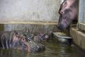 V ZOO Dvůr Králové se po 29 letech narodilo mládě hrocha.