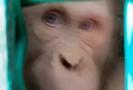 Albínského orangutana čeká úplně nový život.