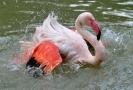 Plameňák růžový.