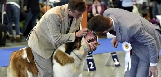 Dvanáctý ročník Hanácké národní výstavy psů všech plemen. Na snímku je svatobernadský pes.