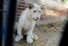 Lvíče v hodonínské zoo.