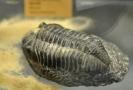Zkamenělina trilobita.
