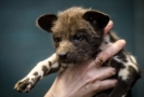Psi hyenoví patří mezi africké šelmy ohrožené vyhubením.