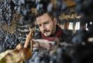 Jan Hrachovský, výrobní ředitel Vinných sklepů Lechovice na Znojemsku, kontroloval 4. února 2019 hrozny odrůdy Frankovka pro výrobu slámového vína.