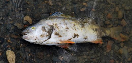 Úhyn ryb.
