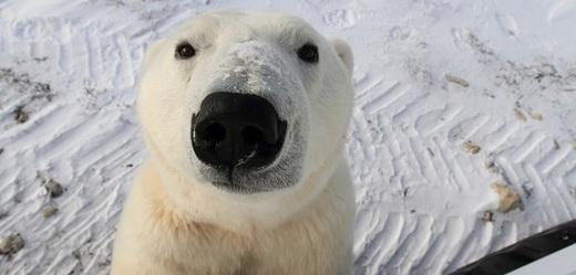 Lední medvědi se na ruském souostroví Nová země stahují k lidským obydlím.