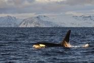 """VIDEO: Kosatka dravá """"se podělila"""" s kamerou o svou potravu"""
