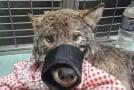Vlk, kterého v domnění, že jde o psa, zachránili mladí estonští dělníci.
