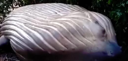 V amazonské džungli se objevilo tělo velryby.