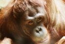 Orangutan (ilustrační foto).