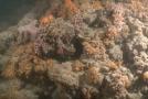 Objevený korálový útes u pobřeží Jaderského moře v Itálii.